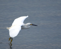 Touching down --Cattle Egret