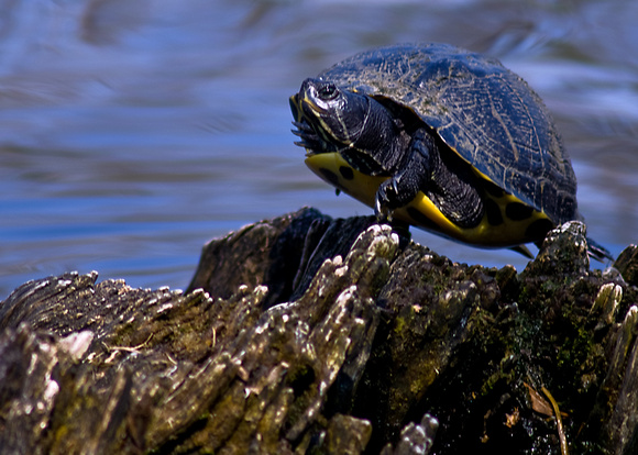 Turtle balancing at Twin Lakes